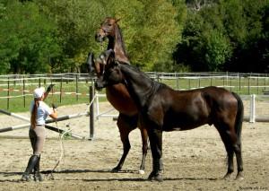 pferde_steigen